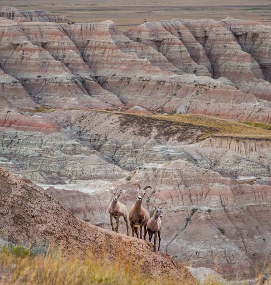 Bighorn sheep Badlands National Park South Dakota
