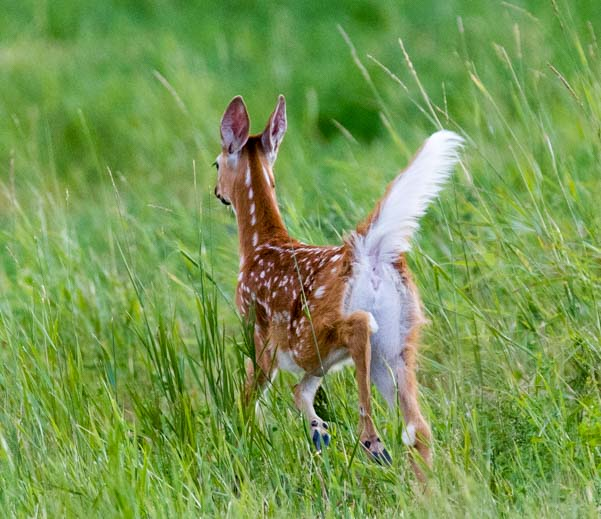 White tail fawn running Bighorn National Forest Wyoming