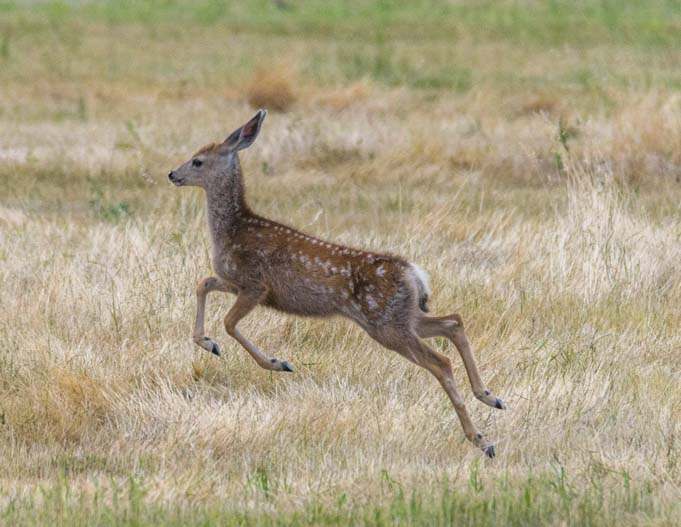Jumping fawn Bud Love wildlife area Buffalo Wyoming