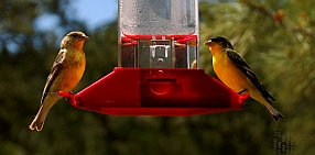 goldfinches visit our RV in Cinder Hills OHV area Flagstaff Arizona