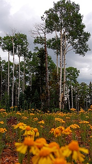 Aspens clustered in the Kaibab National Forest North Rim Grand Canyon, AZ
