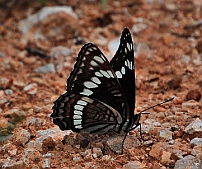 Black butterfly in the Kaibab National Forest North Rim Grand Canyon AZ