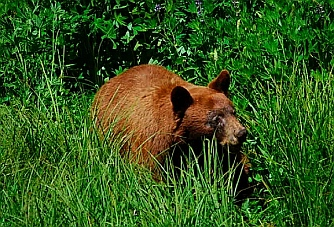Bear sighting near Crane Flat in Yosemite National Park CA California