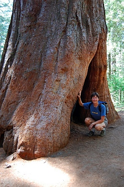 Giant Sequoia in Yosemite National Park CA California