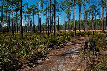 Pecker Pines at Ochlockonee River State Park