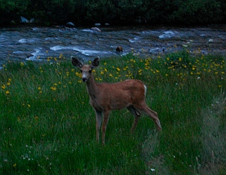 Mule deer at campsite Ketchum Idaho