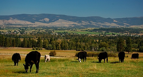 Cows on a Montana cattle ranch