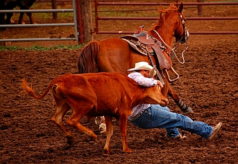 Steer wrestling at the rodeo
