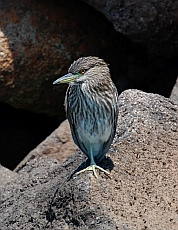 Juvenile black crowned night heron at Hotel Coral and Marina