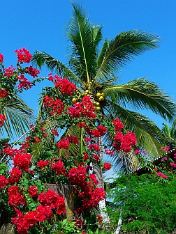 Bougainvillea and coconut palms in Chamela Bay anchorage (Bahia de Chamela), Mexico