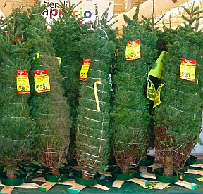 Christmas trees for sale at Comercial Mexicana in Manzanillo, Mexico