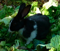Bunnies eat lettuce from the restaurant at Isla Ixtapa - Isla Grande - Isla de Ixtapa - Ixtapa Island, Guerrero, Mexico