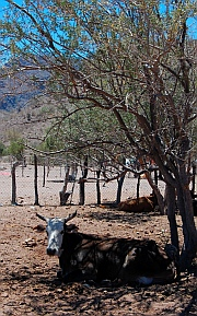 Free range cattle, Puerto Agua Verde, Baja California Sur, Sea of Cortez, Mexico