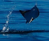 Mobula ray or manta ray, Isla Coronado, Baja California Sur, Sea of Cortez, Mexico
