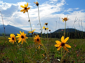 Sunflowers and San Francisco Mountains, Flagstaff, AZ