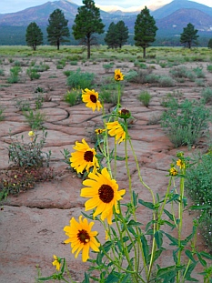 Sunflowers outside Coconino National Forest Bonito Campground.