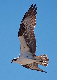 Osprey flying over Punta Chivato, Sea of Cortez, Mexico