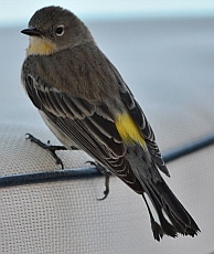 A yellow-rumped warbler at Isla San Francisco, BCS, Sea of Cortez, Mexico
