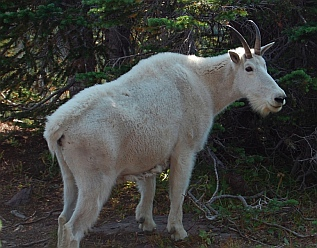 Mountain goats at Logan Pass in Glacier National Park, Montana