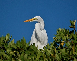 Snowy egret in the mangroves at the Ixtapa estuary sanctuary.