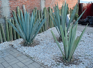 Young blue agave plants at mezcal distillery,  Oaxaca, Mexico.