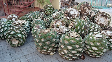 Blue agave plants ready for processing, mezcal distillery,  Oaxaca, Mexico.