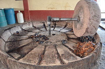 Grinding up burnt agave plants to make mezcal in a distillery,  Oaxaca, Mexico.