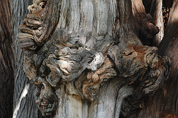 Gnarled trunk of the Tule tree in Santa María del Tule, Oaxaca, Mexico