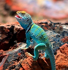 We meet a collared lizard on the Agate House hiking trail at Petrified Forest National Park, Arizona.