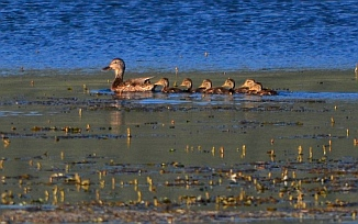 Mother duck and ducklings on Koosharem Reservoir, Utah.