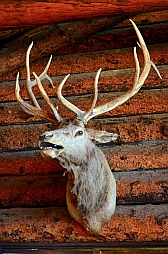 Elk head on the wall of Fish Lake Lodge, Utah.