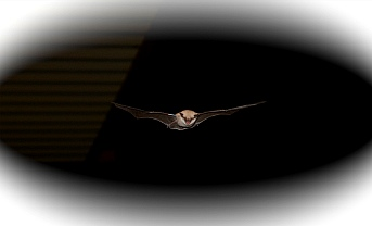 Bat flying in the night at Valley of Fire State Park, Las Vegas, Nevada