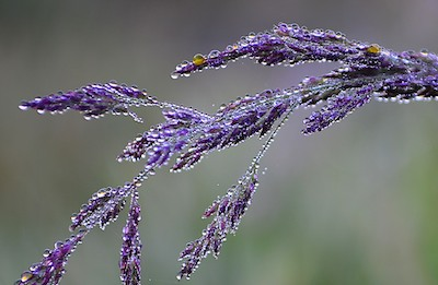 Dew drops on long grass