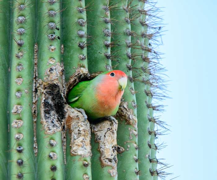 Lovebird parrot in a cactus and other RV living travel stories from Arizona-min