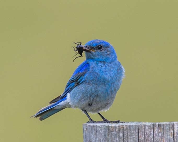 Wild mountain bluebird with a bug in its mouth-min