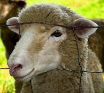 Sheep head through fence
