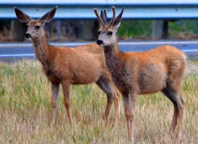Ennis Montana Mule Deer