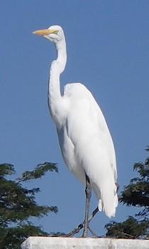 Great egret Marina Chahue Huatulco Mexico