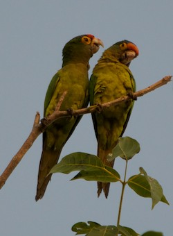 half moon conures in Huatulco Mexico