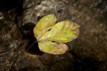 Hagia Sofia Huatulco leaf in river