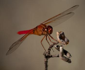 Hagia Sofia Huatulco dragonfly