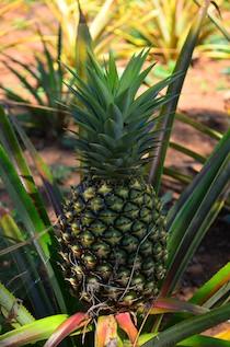 Hagia Sofia Huatulco pineapple
