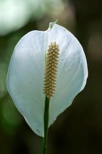 Cuna de Moises - Hagia Sofia Huatulco Mexico Flower Nursery