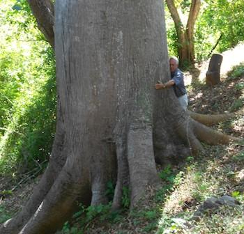 Hagia Sofia Huatulco ceiba tree