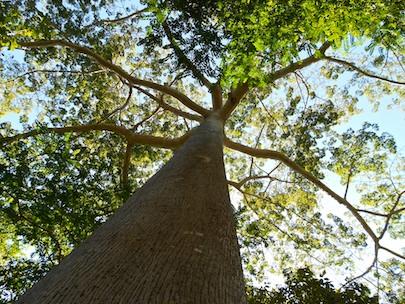 Hagia Sofia ceiba tree