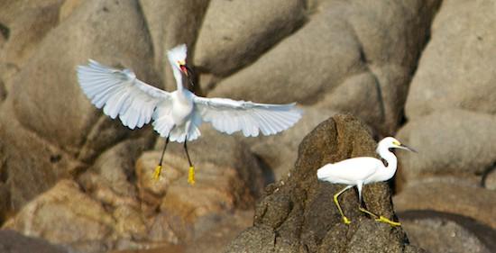 snowy egrets huatulco sailing blog