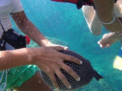 Inflated Puffer fish snorkeling playa de entrega huatulco sailing blog