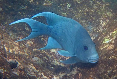 Blue fish snorkeling playa de entrega huatulco sailing blog
