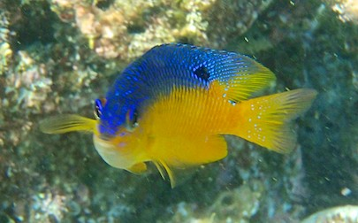 Blue & yellow fish snorkeling playa de entrega huatulco sailing blog