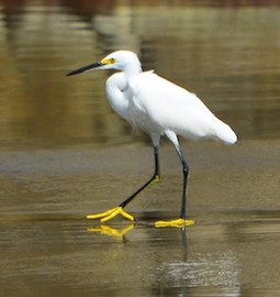 Snowy egret at Playa La Bocana Huatulco from our sailing blog